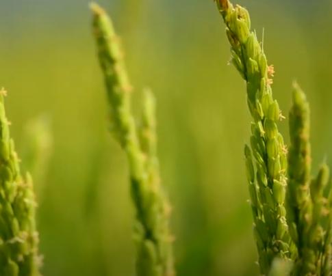 Gönen Çeltik Üreticilerimiz Ürünlerimiz Hakkında Yorumları